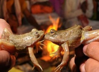 frog-marriage